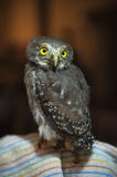 Baby Spectacled Owl Royalty Free Stock Images