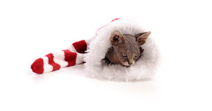 Baby sphynx cat in xmas hat Stock Photo