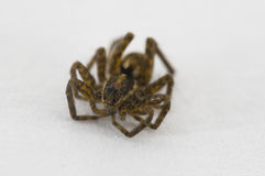 Baby spider. A super macro picture of a baby spider Royalty Free Stock Image
