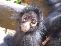 Baby spider monkey Royalty Free Stock Image