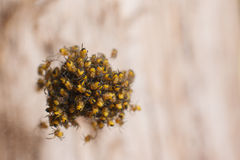 Baby spiders nest. Dozens of small baby spiders in nest Stock Photo