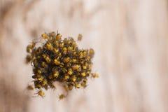 Baby spiders nest Stock Photo