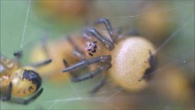 Baby spiders nest stock video footage