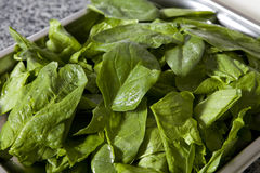 Baby spinach greens with water drops Stock Photos