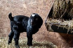 Baby Spotted Boer Goat with Lop Ears in barn. Is only 4 days old. Very cute baby goat stock photos