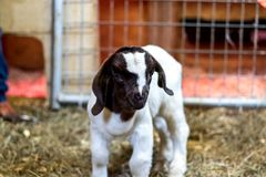 Baby Spotted Boer Goat with Lop Ears in barn. Is only 4 days old. Very cute baby goat royalty free stock photos