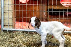 Baby Spotted Boer Goat with Lop Ears in barn. Is only 4 days old. Very cute baby goat stock photo