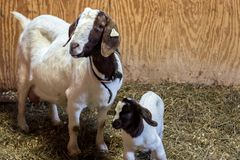 Baby Spotted Boer Goat with Lop Ears in barn with mother. Goats. Very cute stock photo