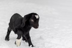 Spotted Boer Goat with Lop Ears in the snow. Baby Spotted Boer Goat with lop ears is only 4 days old. Baby Goat. Baby animal stock photo