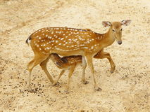 Baby spotted deer breast feeding Royalty Free Stock Photos