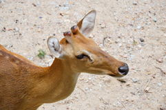 Baby spotted deer Royalty Free Stock Photos