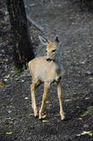 Baby spotted deer. Little Spotted Deer in the Autumn Forest Royalty Free Stock Photo