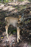 Baby spotted deer. Little Spotted Deer in the Autumn Forest Stock Image
