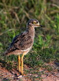 A baby spotted Dikkop Chick Royalty Free Stock Images