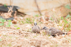 Baby spotted doves on the ground Royalty Free Stock Images