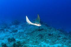 Baby Spotted Eagle Ray in clear water stock image
