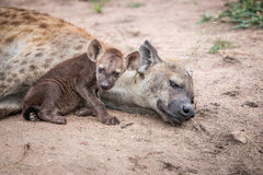 Baby Spotted hyena with his mother. stock images