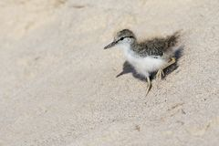 Baby Spotted Sandpiper descending a sand dune Stock Image