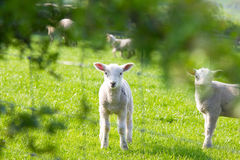 Baby spring lamb Royalty Free Stock Photo