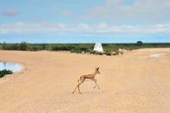 Baby springbok antelope Royalty Free Stock Images