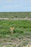 Baby Springbok antelope Stock Photo