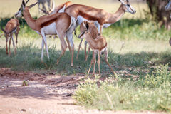 Baby Springbok with the herd. Stock Photos