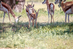 Baby Springbok with the herd. Royalty Free Stock Images