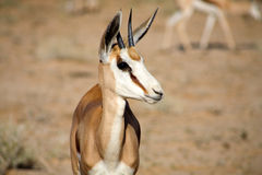 Baby Springbok Royalty Free Stock Images