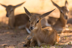 Baby Springboks Royalty Free Stock Photos