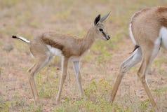 Baby Springbuck die zich achter zijn moeder in de regen bevinden Royalty-vrije Stock Foto's