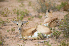 Baby Springbuck Royalty Free Stock Photos