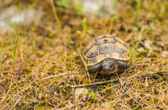 Baby Spur-thighed Tortoise Stock Photo