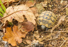 Baby Spur-thighed Tortoise Royalty Free Stock Image