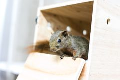 Baby Squirre. Sleeping in house royalty free stock photo