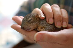 Baby Squirrel 1. A newborn squirrel was rescued and nursed by an Oregon woman Stock Image