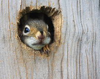 Baby Squirrel. This baby American Red Squirrel (Tamiasciurus hudsonicus) cautiously peeks out of the hole in a wooden nesting box Stock Photo