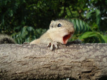 Baby squirrel. Is yelling on branch royalty free stock photos