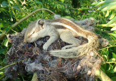 Baby squirrel. Is sleeping in nest royalty free stock images
