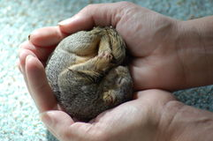 Baby Squirrel 2 Royalty Free Stock Photos