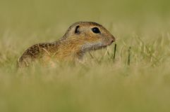 Baby Squirrel. This is a young european ground squirrel. You can also call it european souslik Royalty Free Stock Image