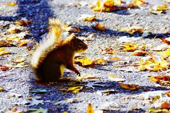 Baby Squirrel in Autumn. A cute baby squirrel standing in the park in autumn Royalty Free Stock Photos