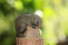 Baby squirrel on big peanut. Profile of baby squirrel lying on peanut stock photo