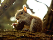 Baby squirrel. A baby squirrel chewing bark stock photography