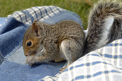 Baby squirrel. A closeup of baby squirrel on a blanket royalty free stock images