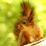 Baby squirrel. Curious little squirrel on a tree royalty free stock photography