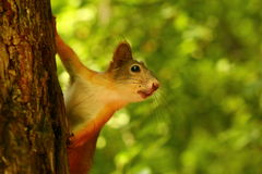 Baby squirrel. Curious little squirrel on a tree stock images