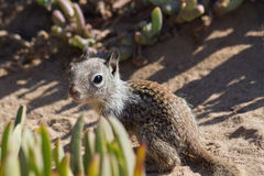 Baby Squirrel. Cute baby squirrel looking curiously, La Jolla, CA stock photography