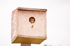 Baby Squirrel. A cute baby squirrel peeking out of a birdhouse stock photos