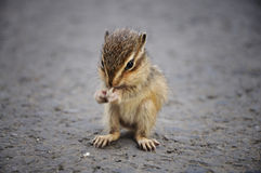 Baby Squirrel Eating. Something on the ground royalty free stock photography