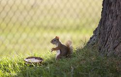 Baby squirrel Eating. Young fox squirrel eating out of a coconut Royalty Free Stock Images